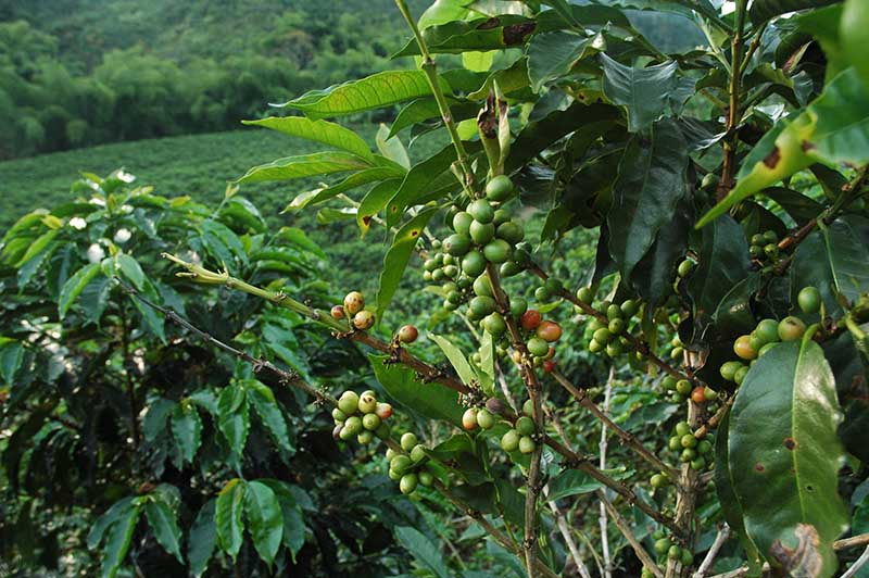 COL - Coffee Region - Hac Venecia - Sept2011 (25)